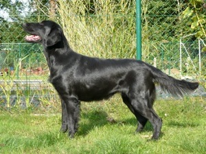 flatcoated retriever in showstand