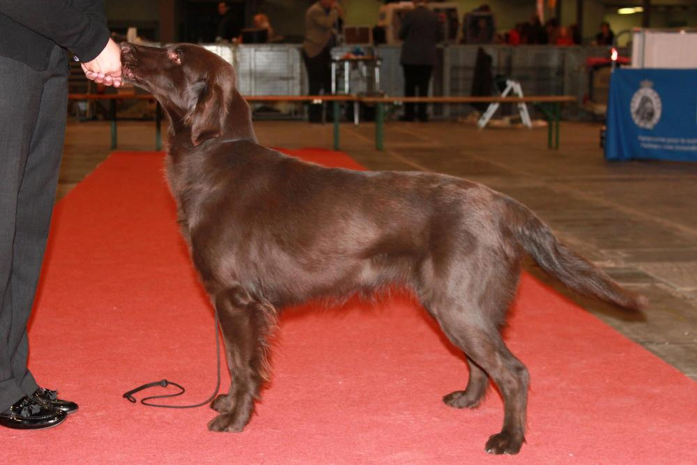 Flatcoated retriever Kitana